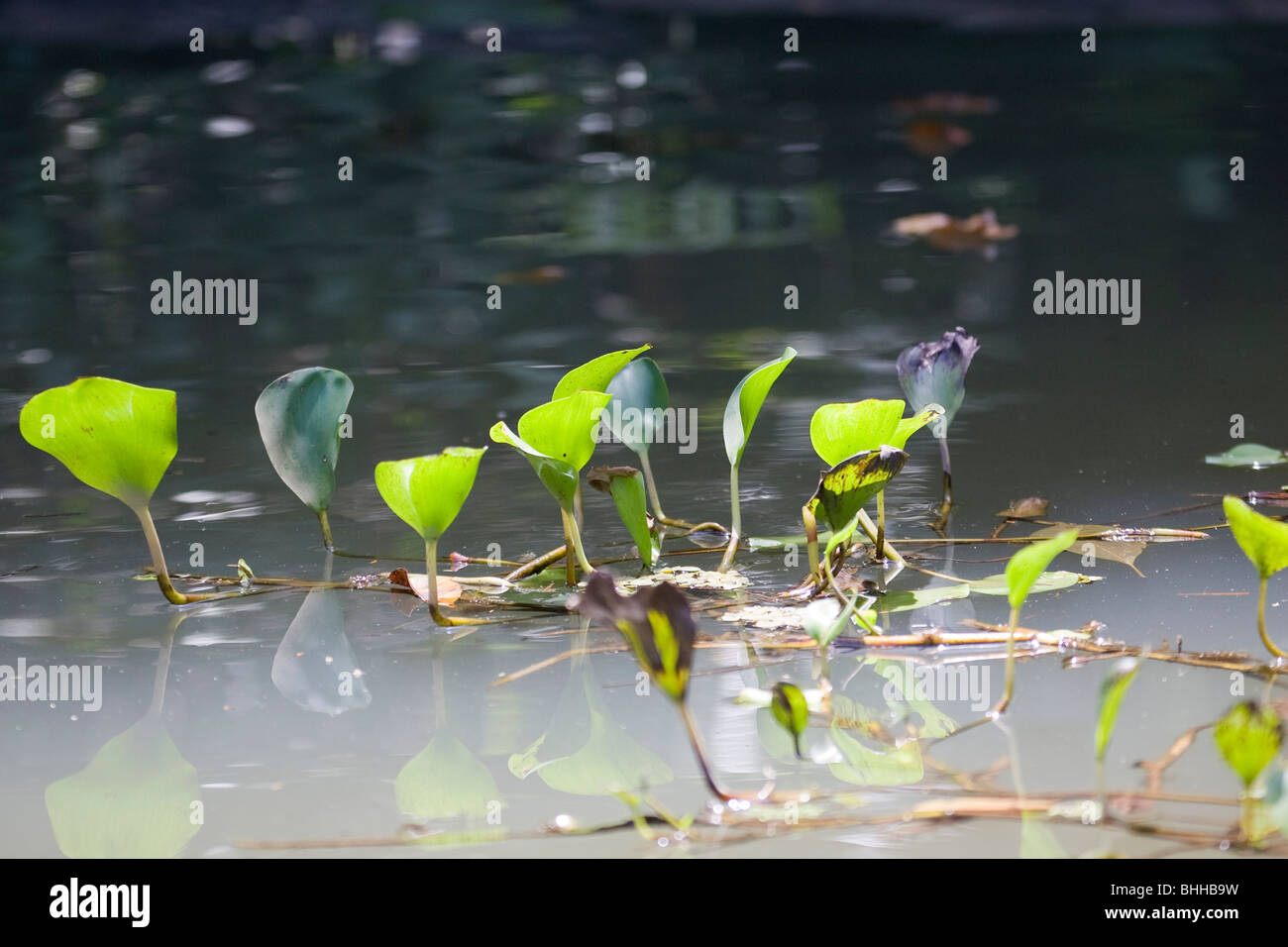 Aquatic plants above the surface of water, Costa Rica. - Stock Image