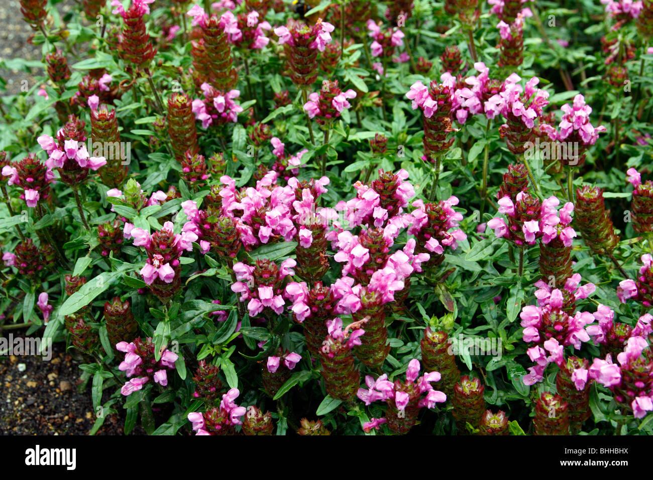 Prunella x webbiana 'Gruss aus Isernhagen' - Stock Image