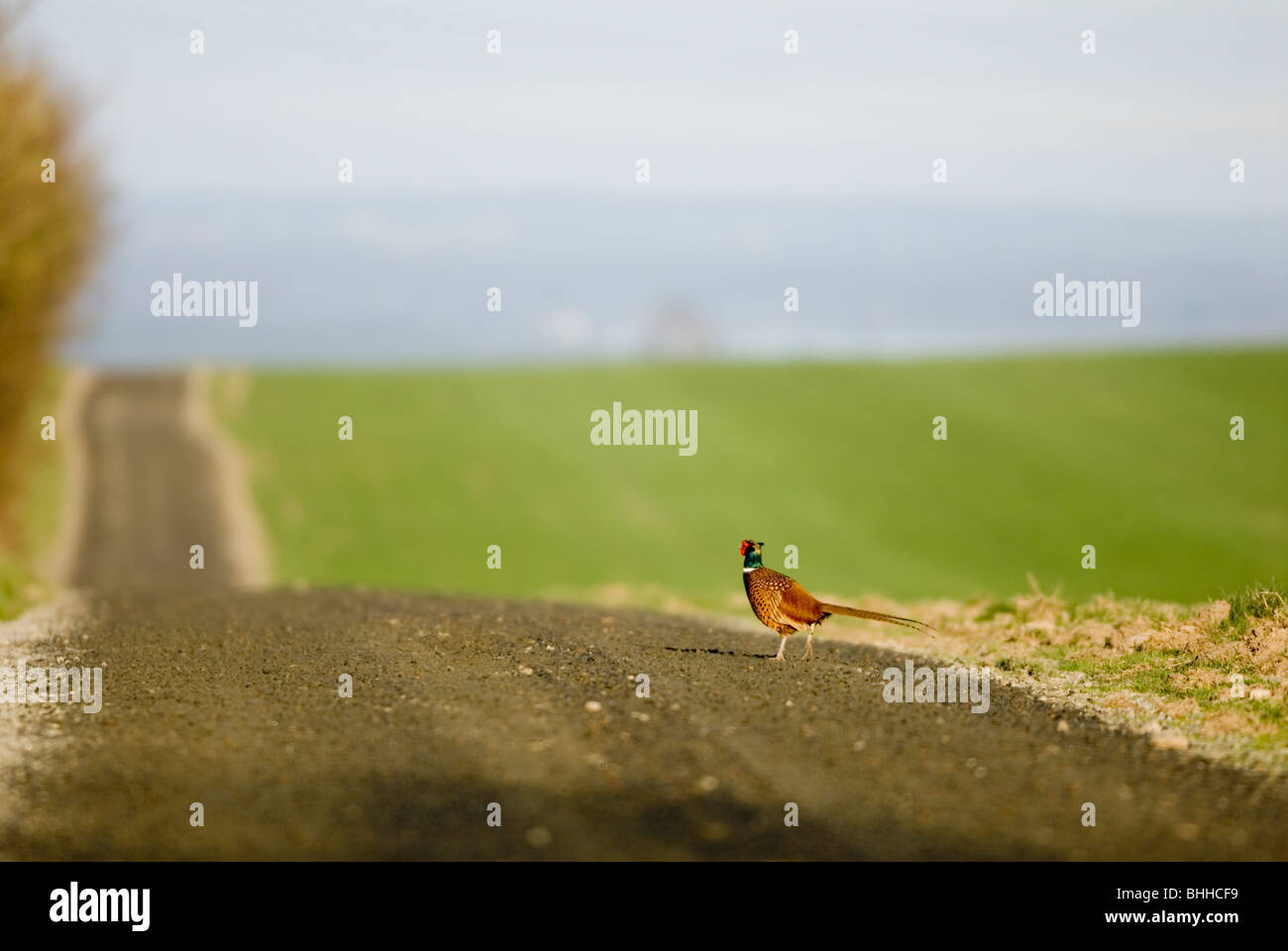 Pheasant on a graveled road, Sweden. - Stock Image