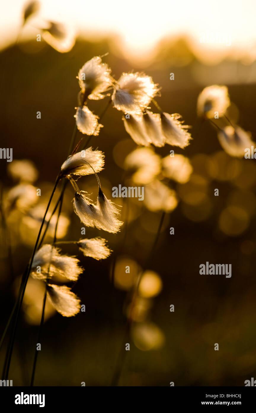 Cotton grass in evening sun, Sweden. - Stock Image