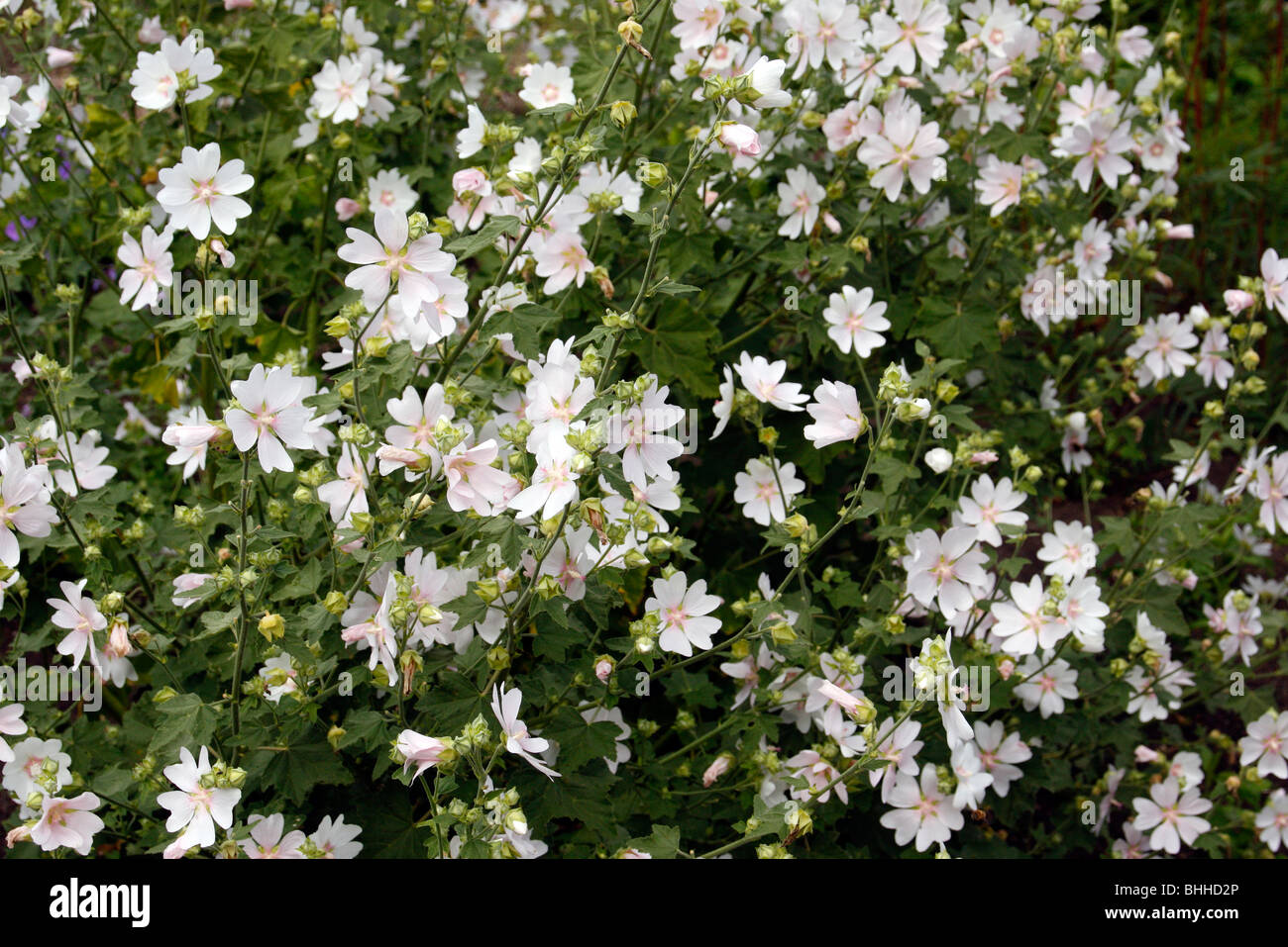 Lavatera white angel stock photo 28042974 alamy lavatera white angel mightylinksfo