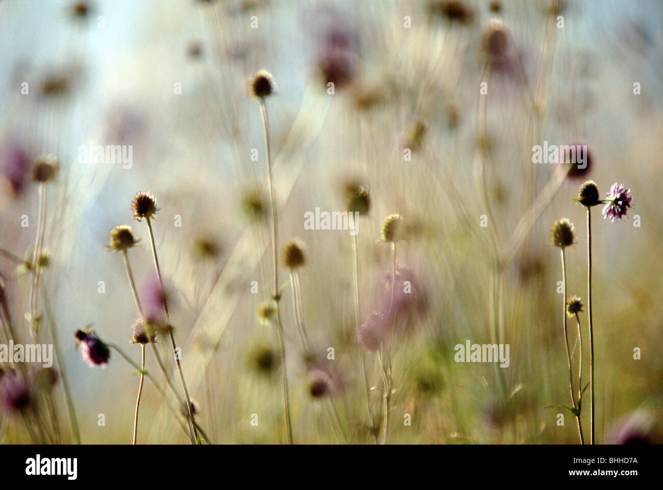 Faded flowers on a meadow, Sweden. - Stock Image