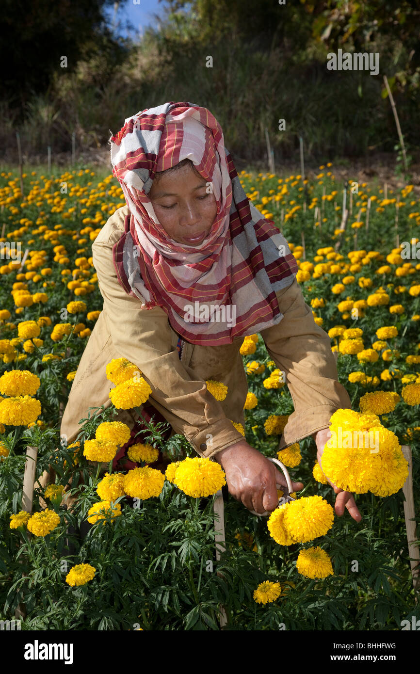 Asian woman picking Chrysanthemum, blooms, flowers, & crops growing in Chiang Mai Northern Thailand, Asia - Stock Image