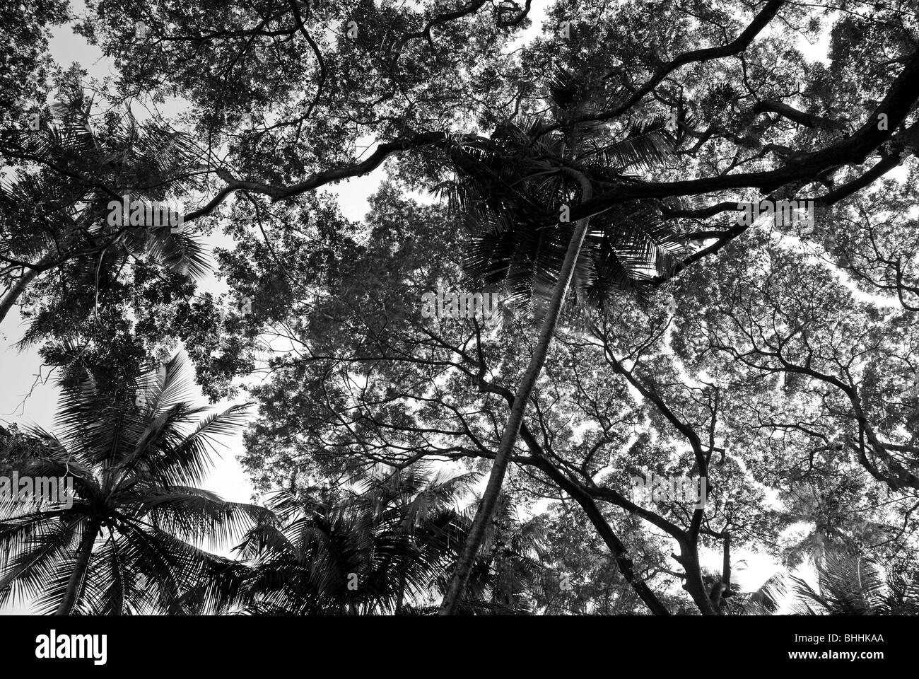 Tree branches seen from bellow in Goa, India. - Stock Image
