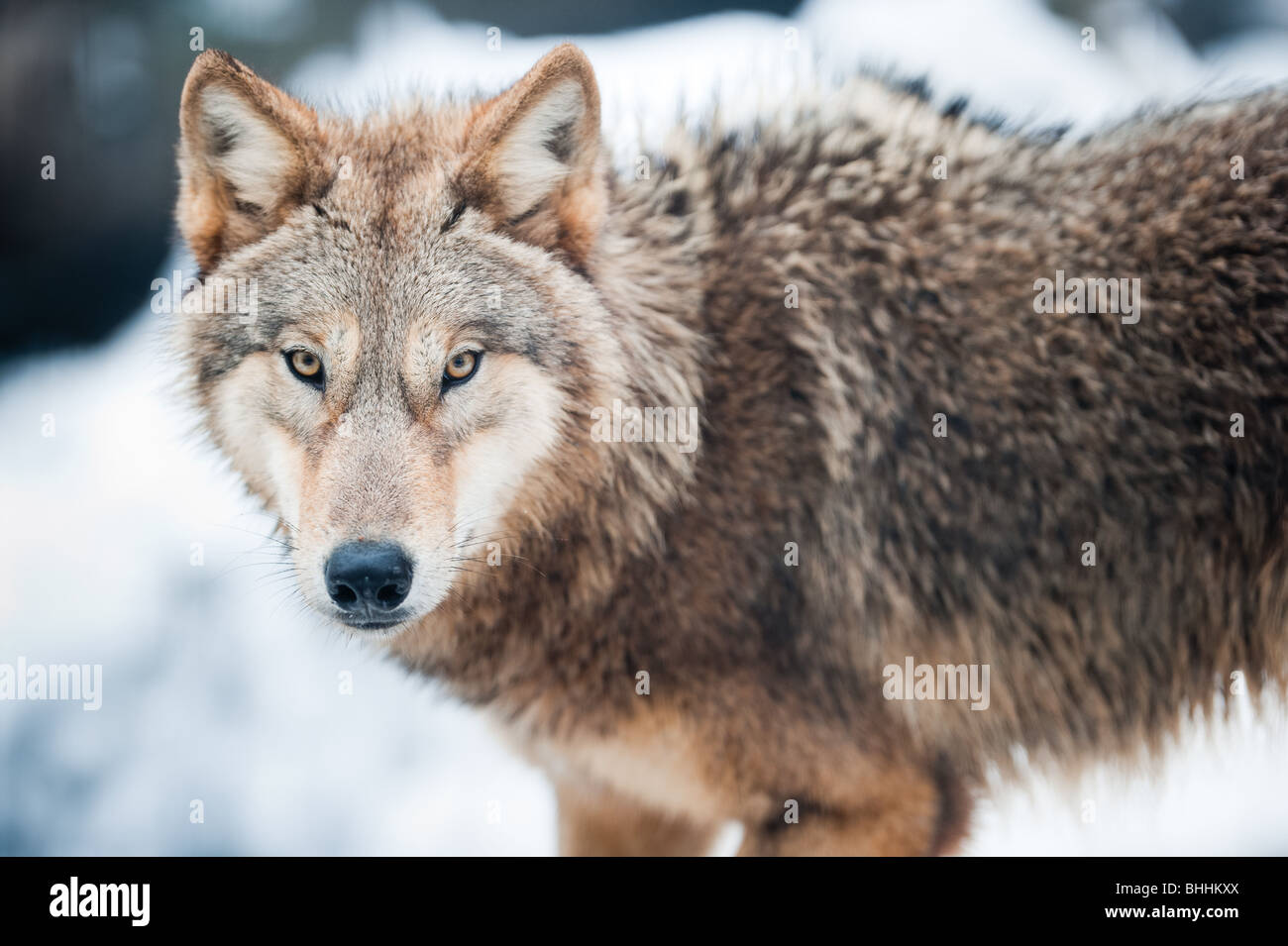 wolf (lat. Canis lupus) standing in the snow, focus is on the eyes - Stock Image