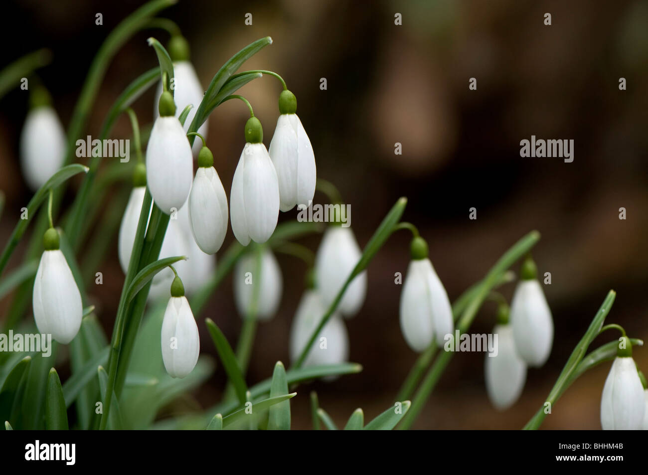 Close up of Galanthus 'Magnet', Snowdrops, at Painswick Rococo Garden in The Cotswolds - Stock Image