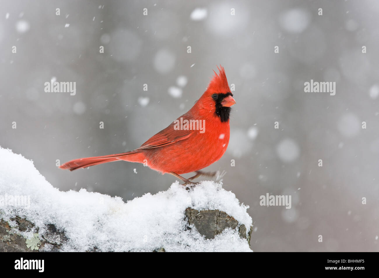 Northern Cardinal in Snow - Stock Image