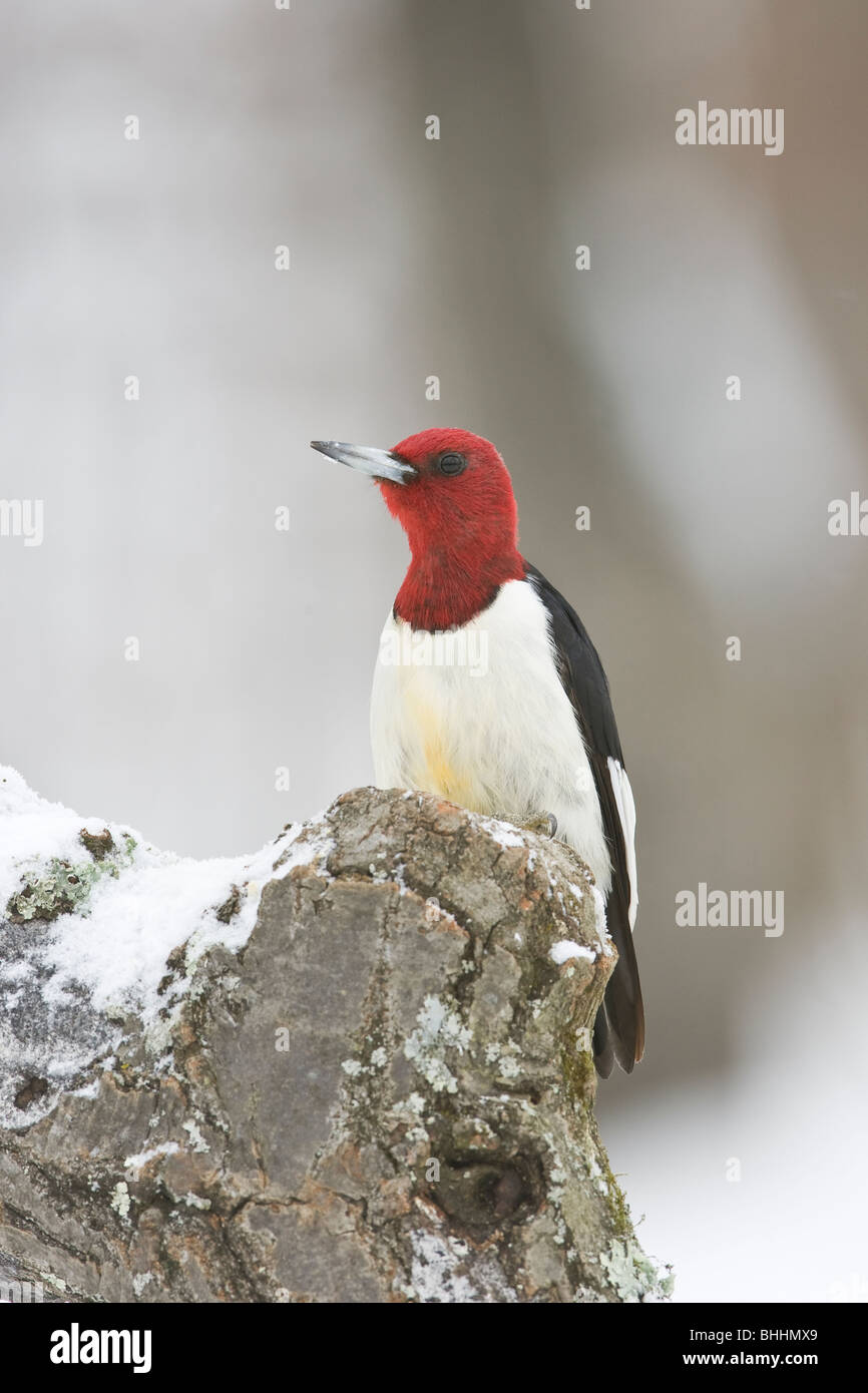 Red-headed Woodpecker - Stock Image