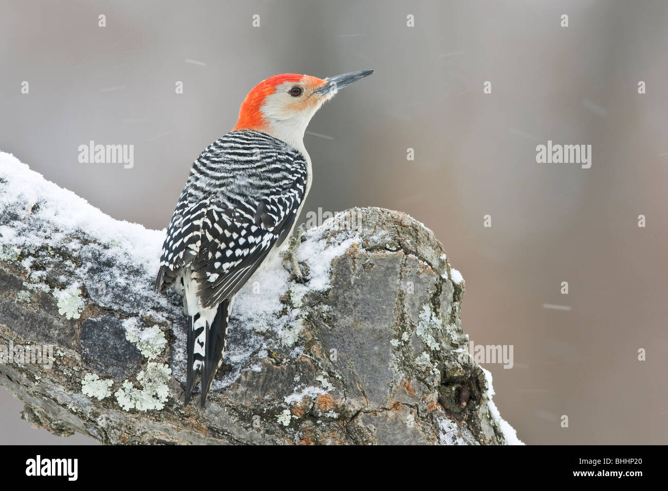 Red-bellied Woodpecker in Snow - Stock Image