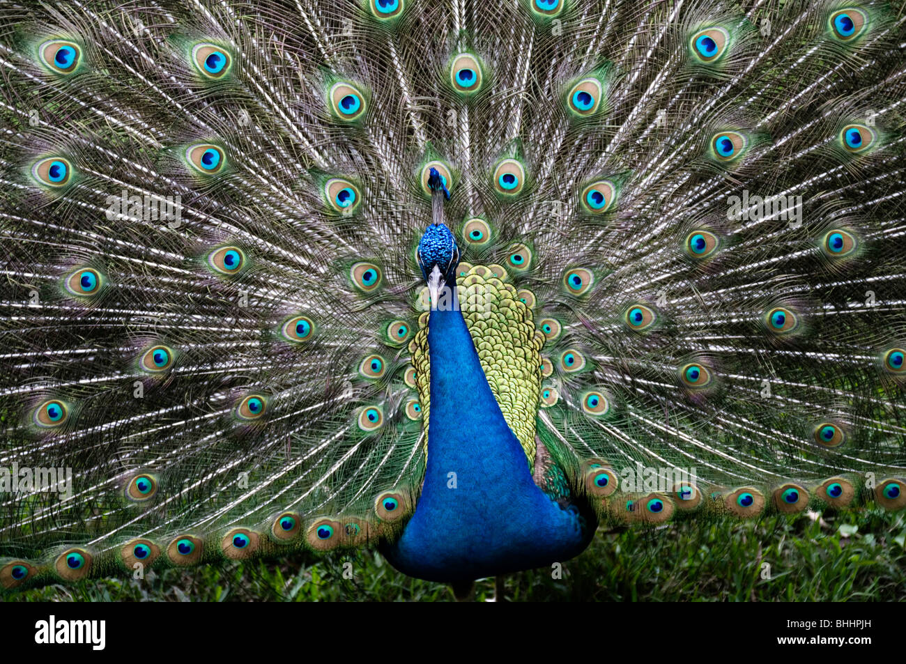 Closeup of a peacock with feathers fully extended. - Stock Image