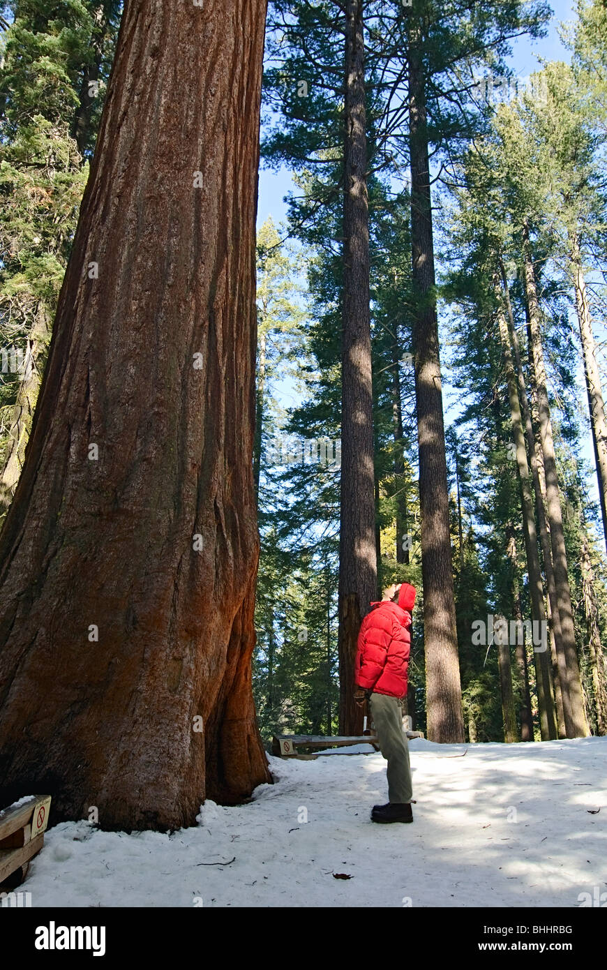 A man looking up in awe of a Giant Sequoia Tree of Tuolumne Grove in Yosemite National Park. - Stock Image