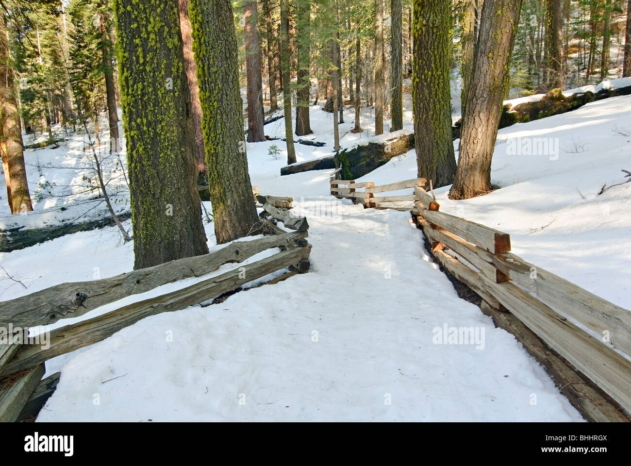 Snow covered trail in a forest of Tuolumne Grove. - Stock Image