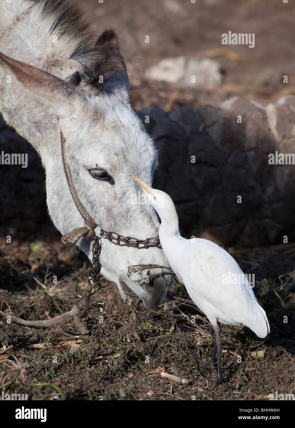 cattle egret (Bubulcus ibis) eating flies on the head of a donkey, field in Dashur area, Egypt. - Stock Image