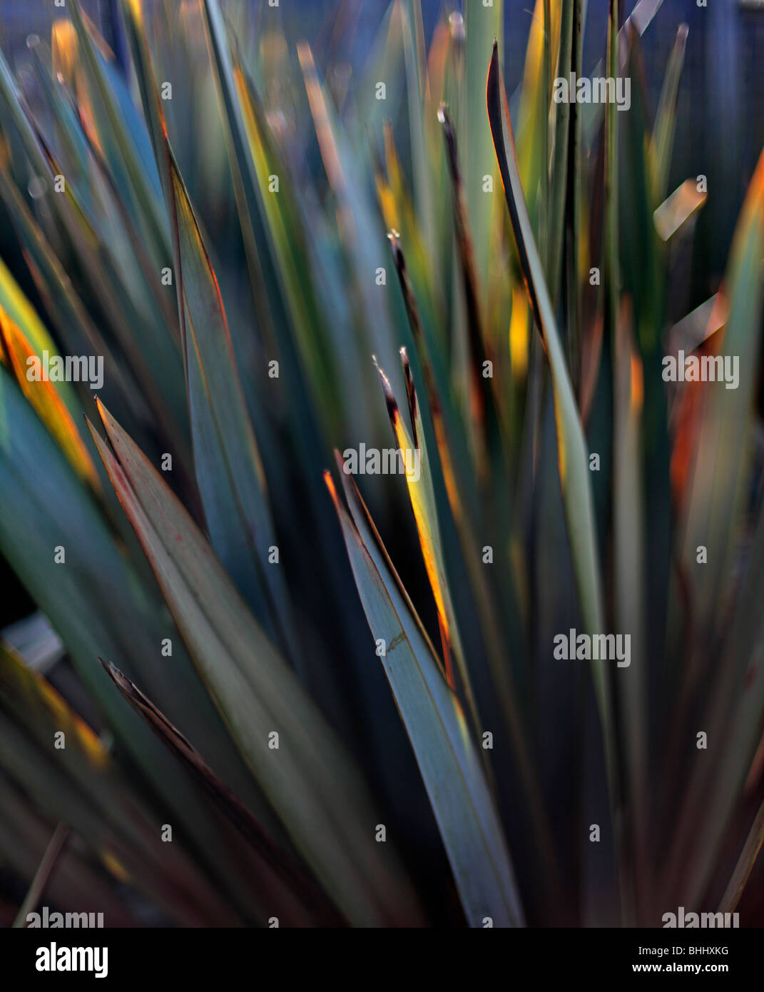 Phormium - Stock Image