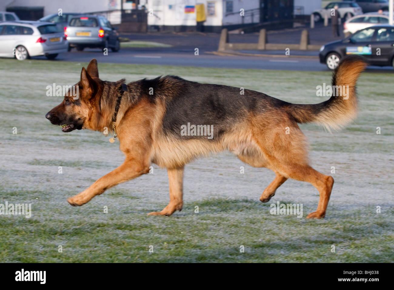 Alsatian dog running at a park; Lancashire - Stock Image