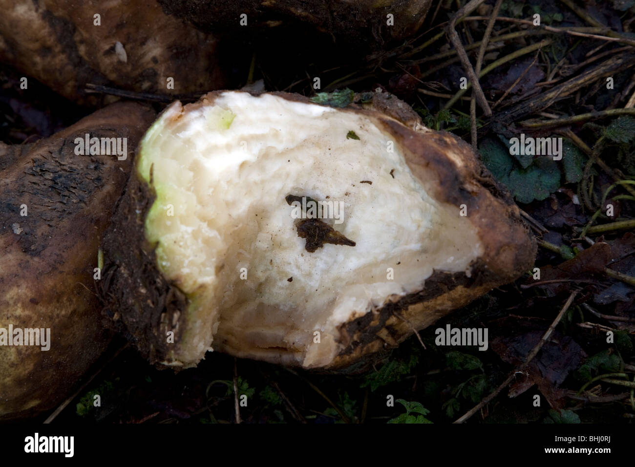 Sugar beet with teeth marks gnawed by rats and other rodents - Stock Image