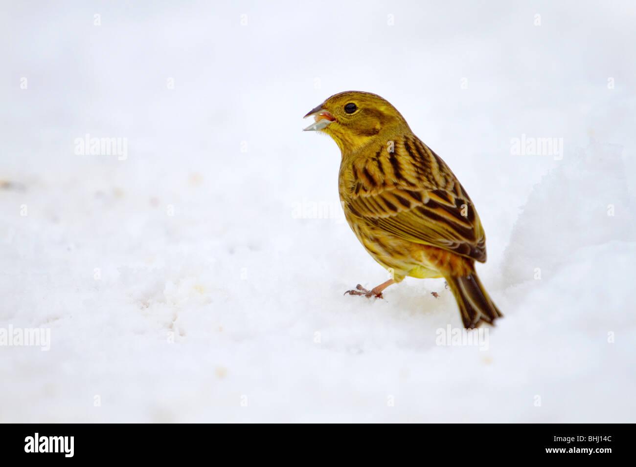 Yellowhammer; Emberiza citrinella; snow; York - Stock Image