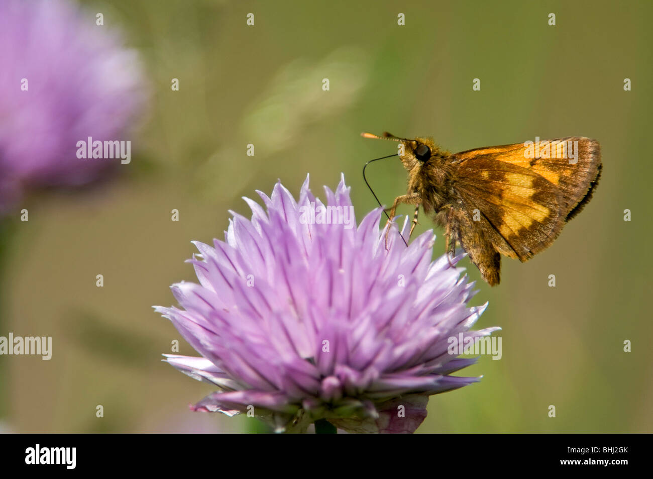 Skipper butterfly Nectaring on chive flowers - Stock Image