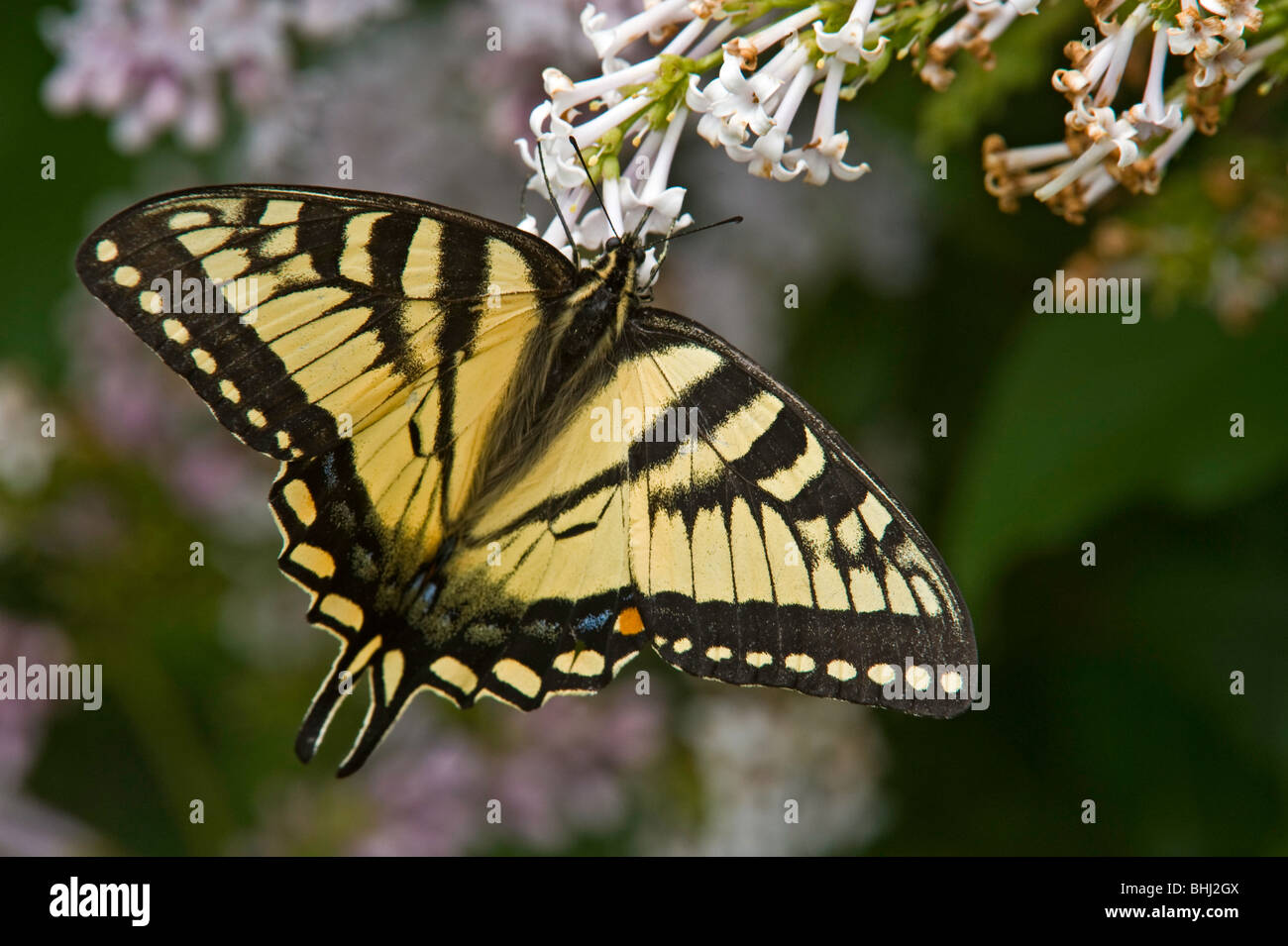 Canadian tiger swallowtail (Papilio canadensis) Nectaring on lilac bush - Stock Image