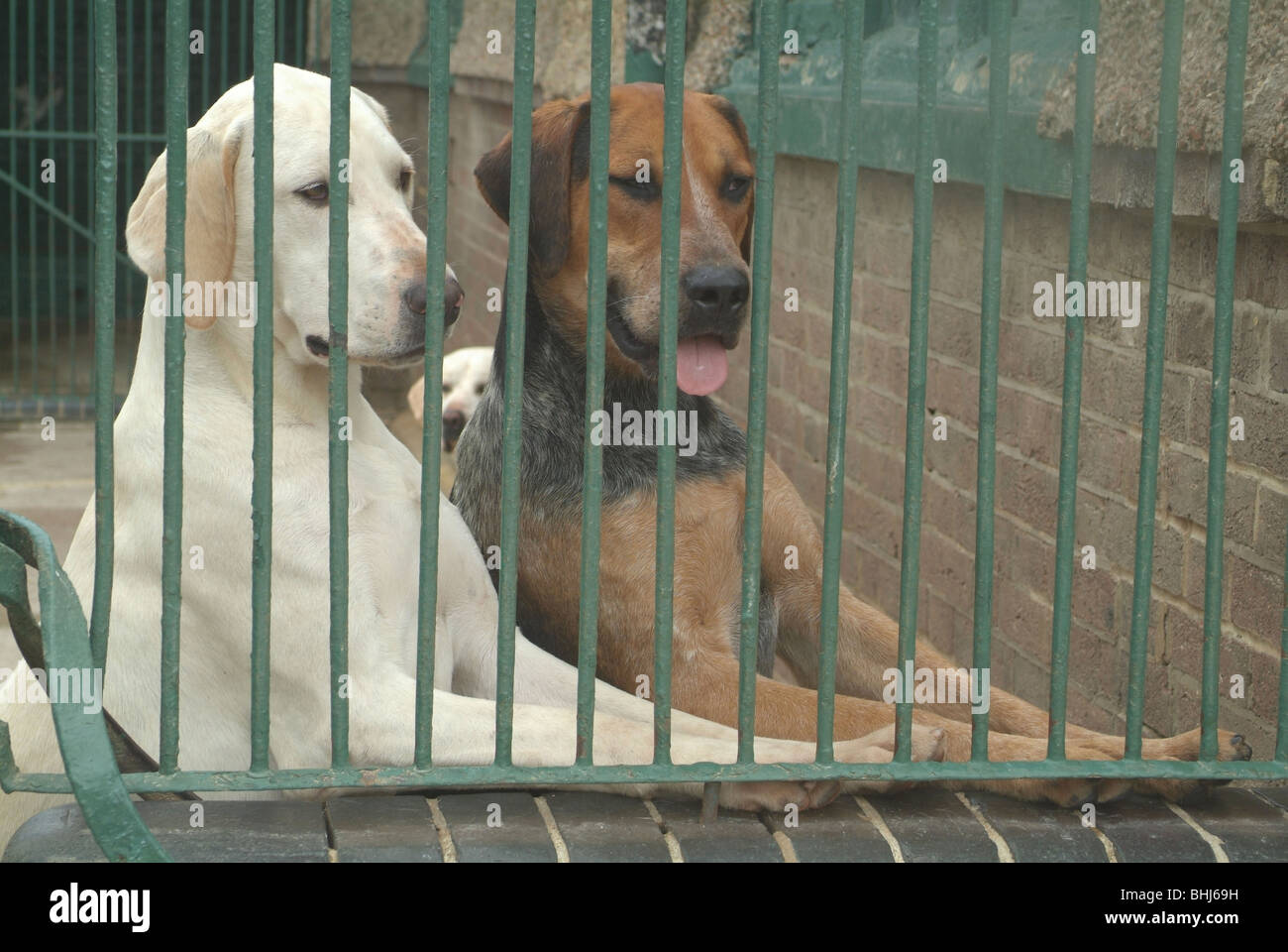 Two hounds in a kennel - Stock Image