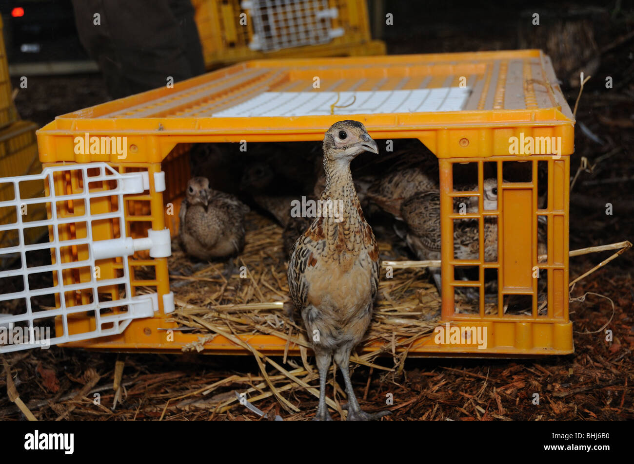 Pheasants being released from their pen - Stock Image