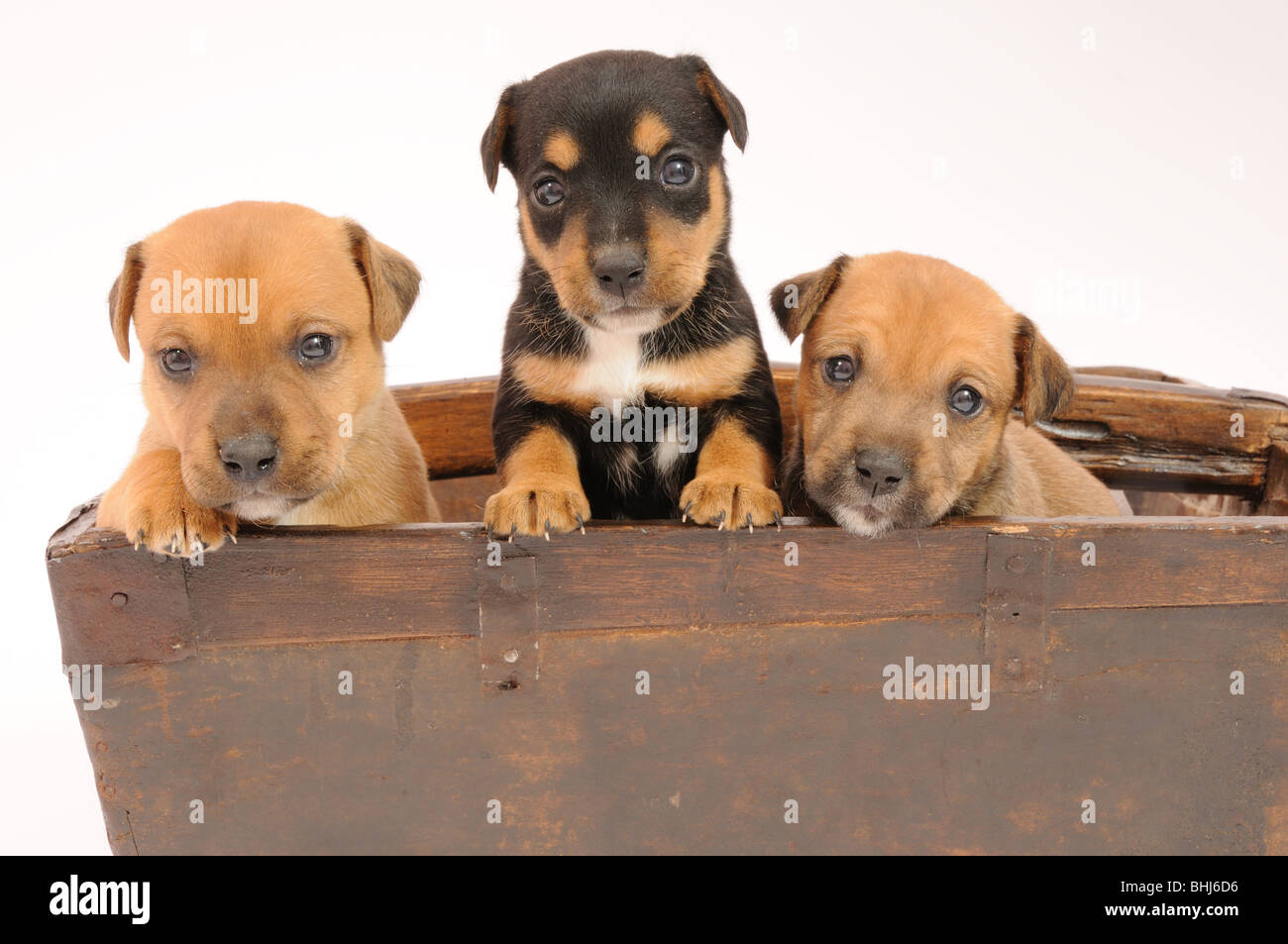 Terrier puppies - Stock Image