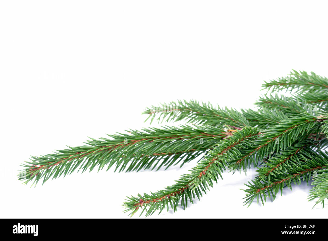 Composition from spruce twigs on the white background - Stock Image