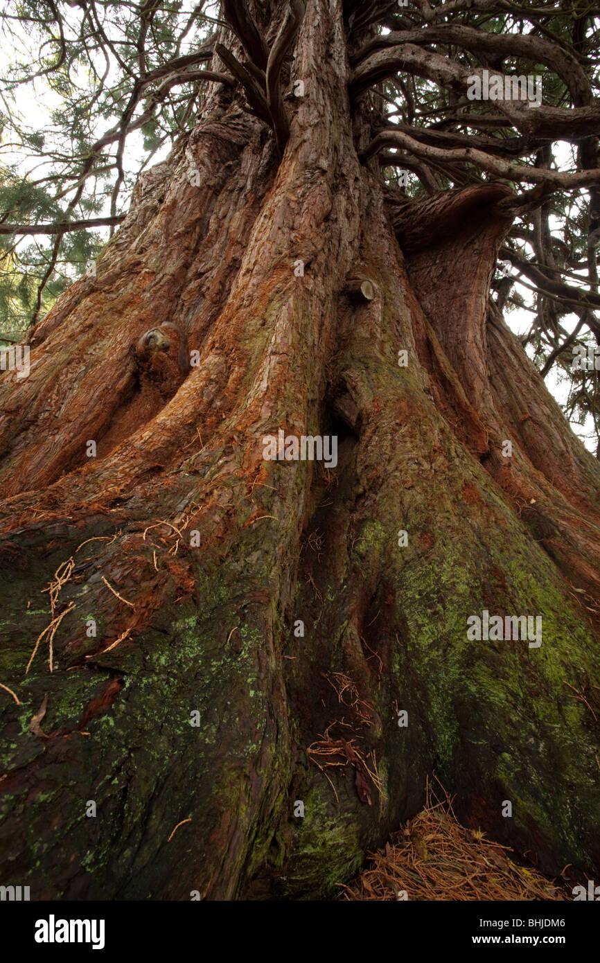 Large sitka spruce (Pseudotsuga menziesii) in Glen Affric, Scottish Highlands, Uk - Stock Image