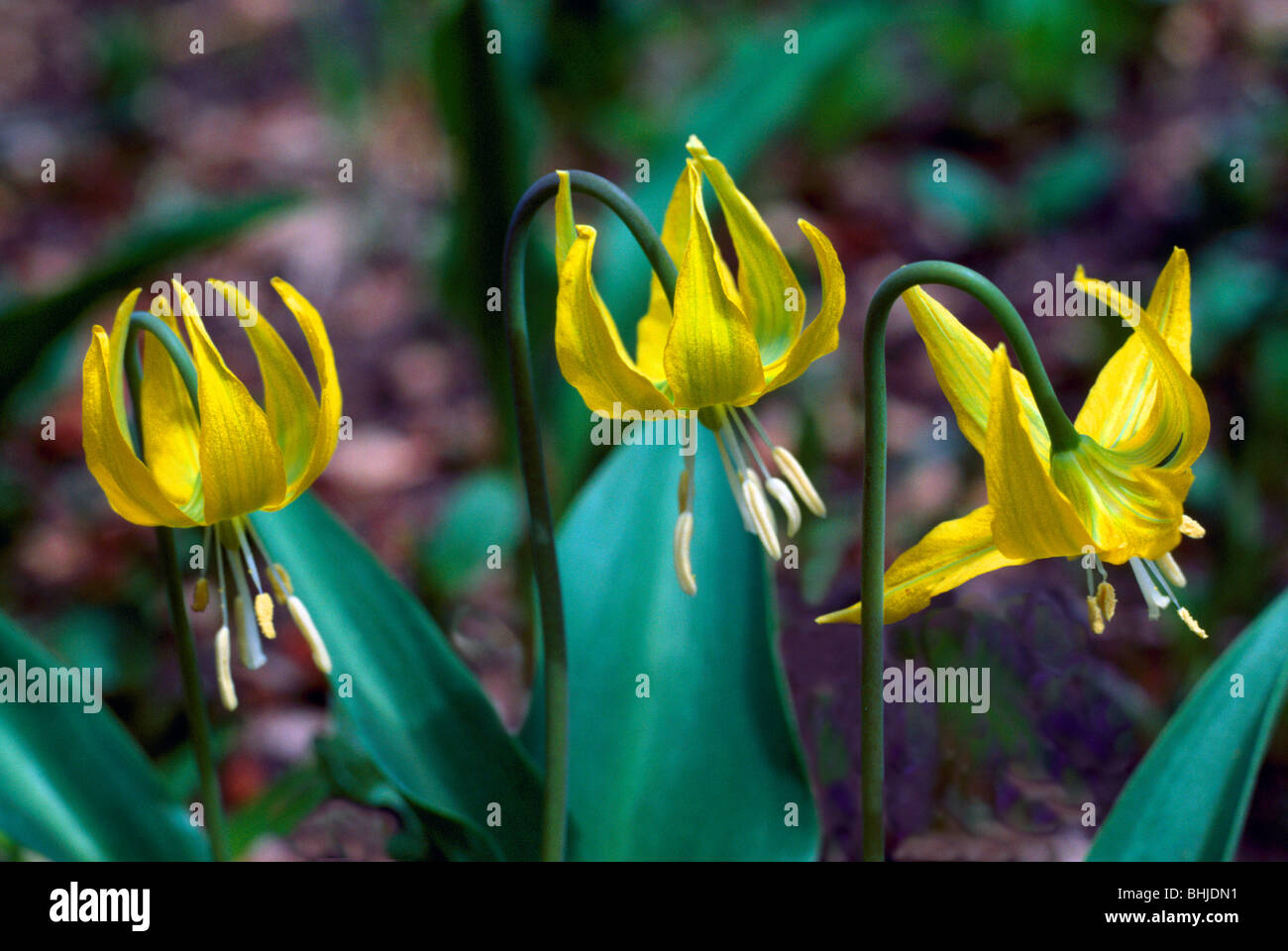 Yellow Avalanche Lily Erythronium Grandiflorum Bloom Wild