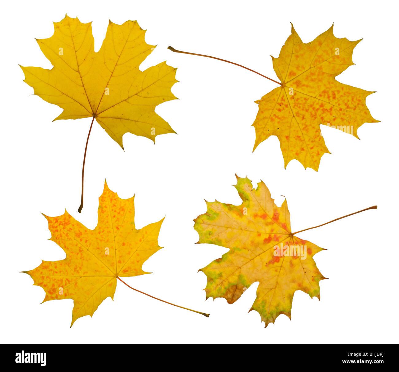 Maple leaves isolated on white background - Stock Image