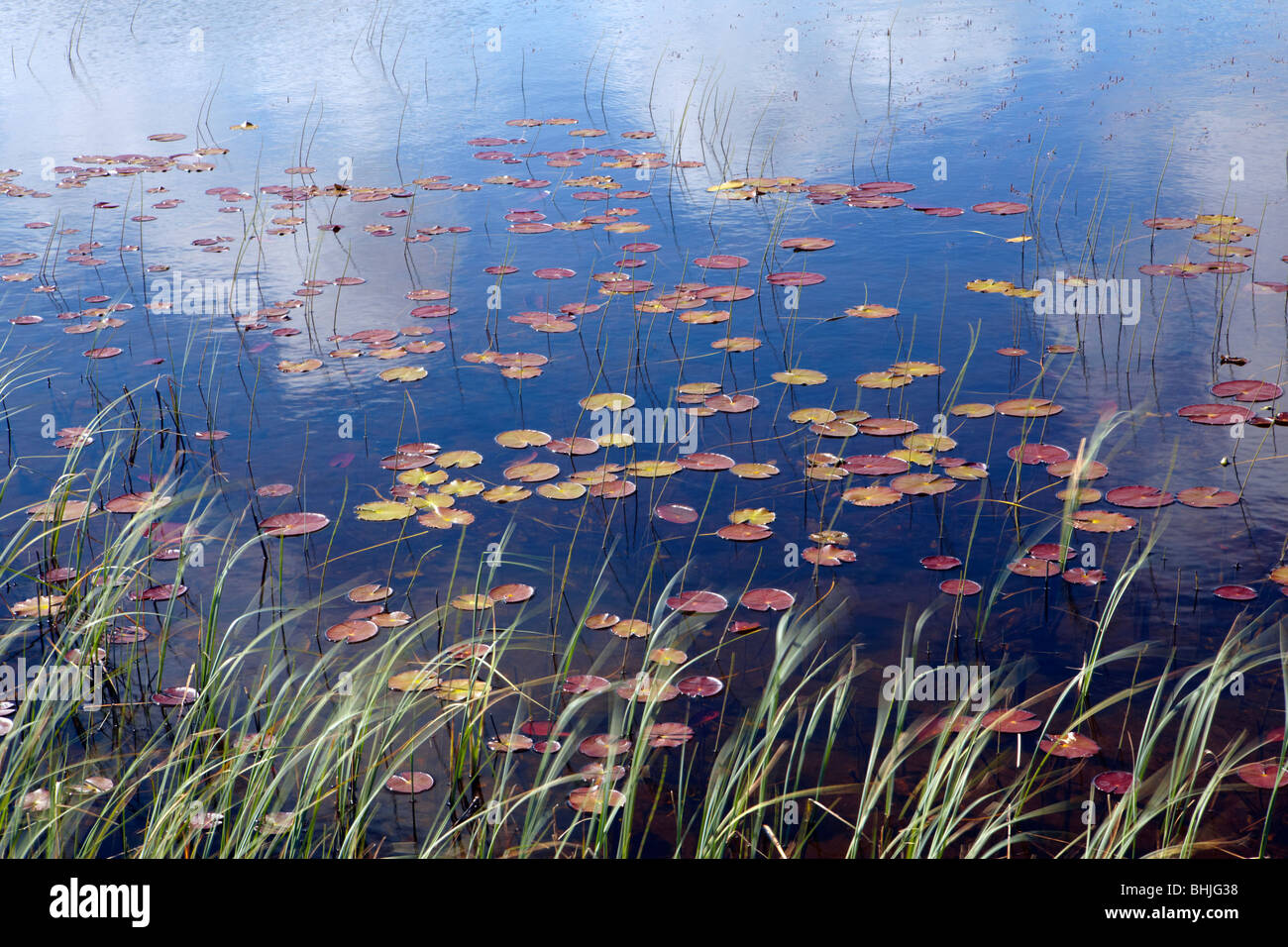 Waterlilies and cloud reflections in a lochan on North Uist, Scotland - Stock Image