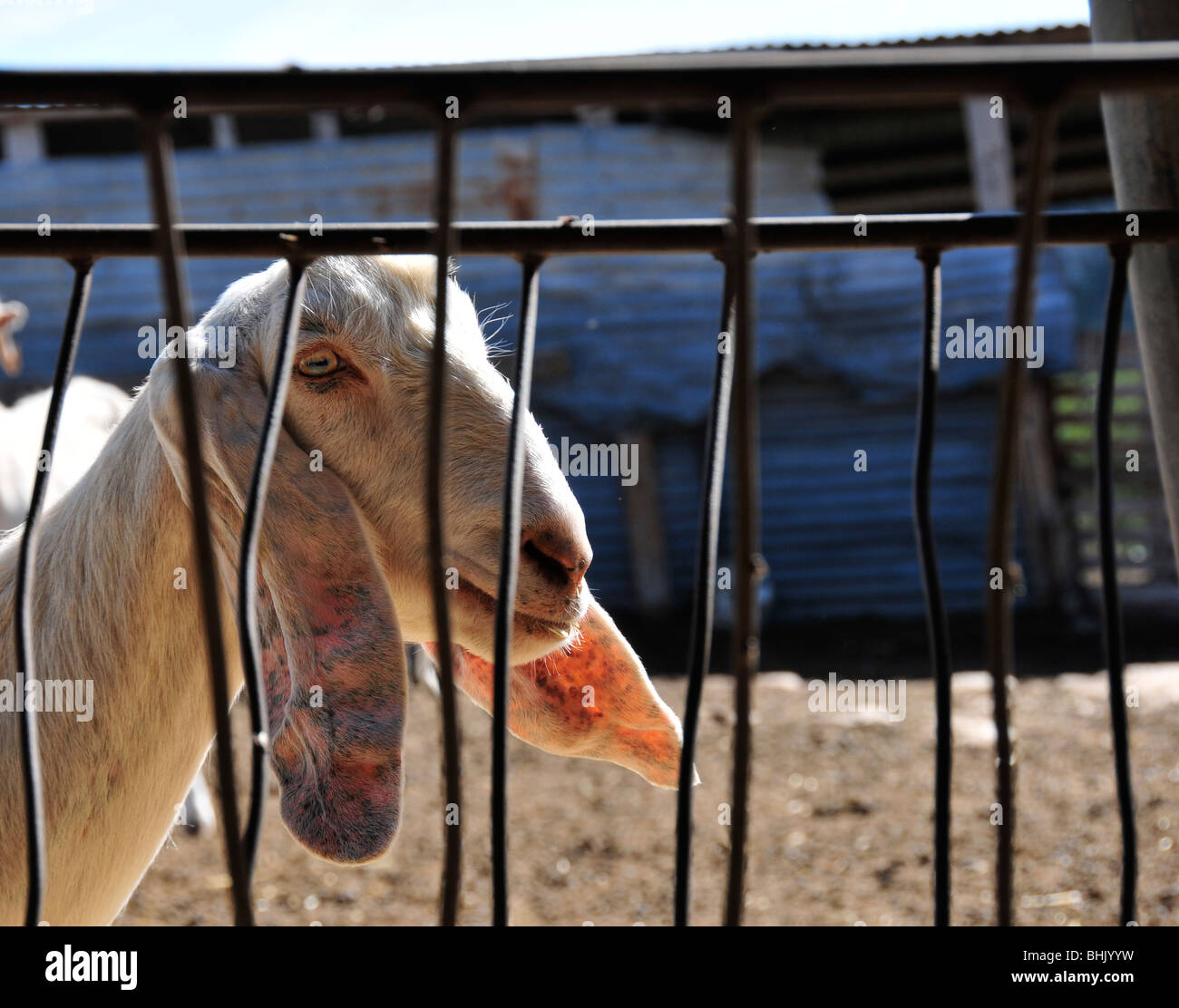 The sun shines through the ears of a long-eared goat on a cheese producer's farm on Cyprus - Stock Image