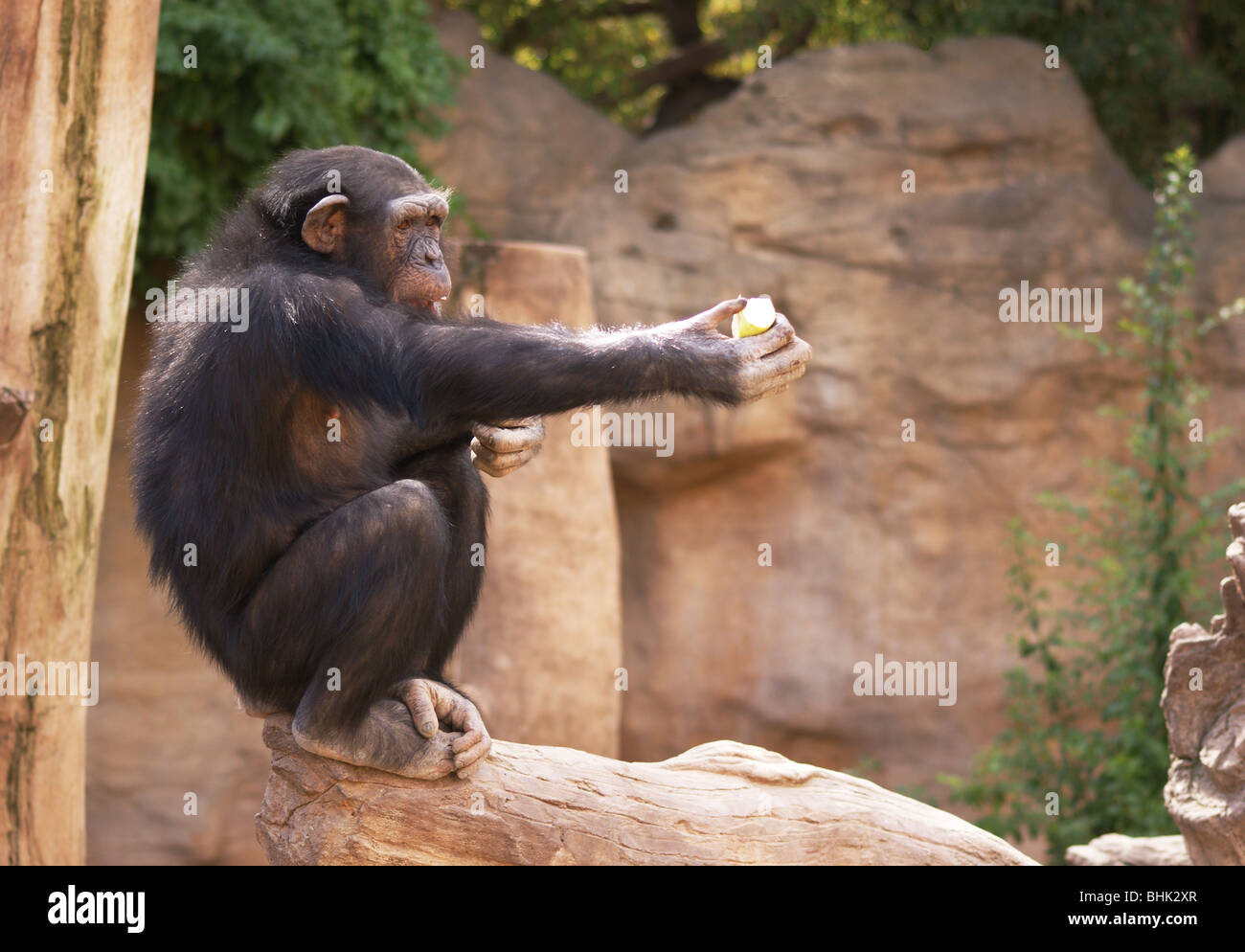 ZOO CHIMP CHIMPANZEE CROUCHING AND HOLDING AN APPLE IN AN OUTSTRETCHED HAND Stock Photo