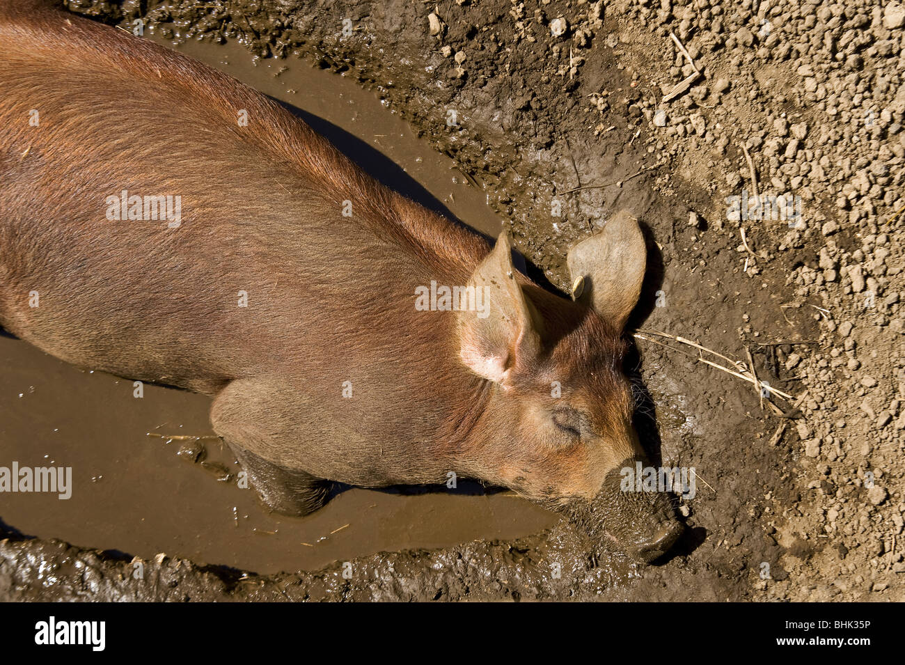A pig sleeping in a puddle - Stock Image