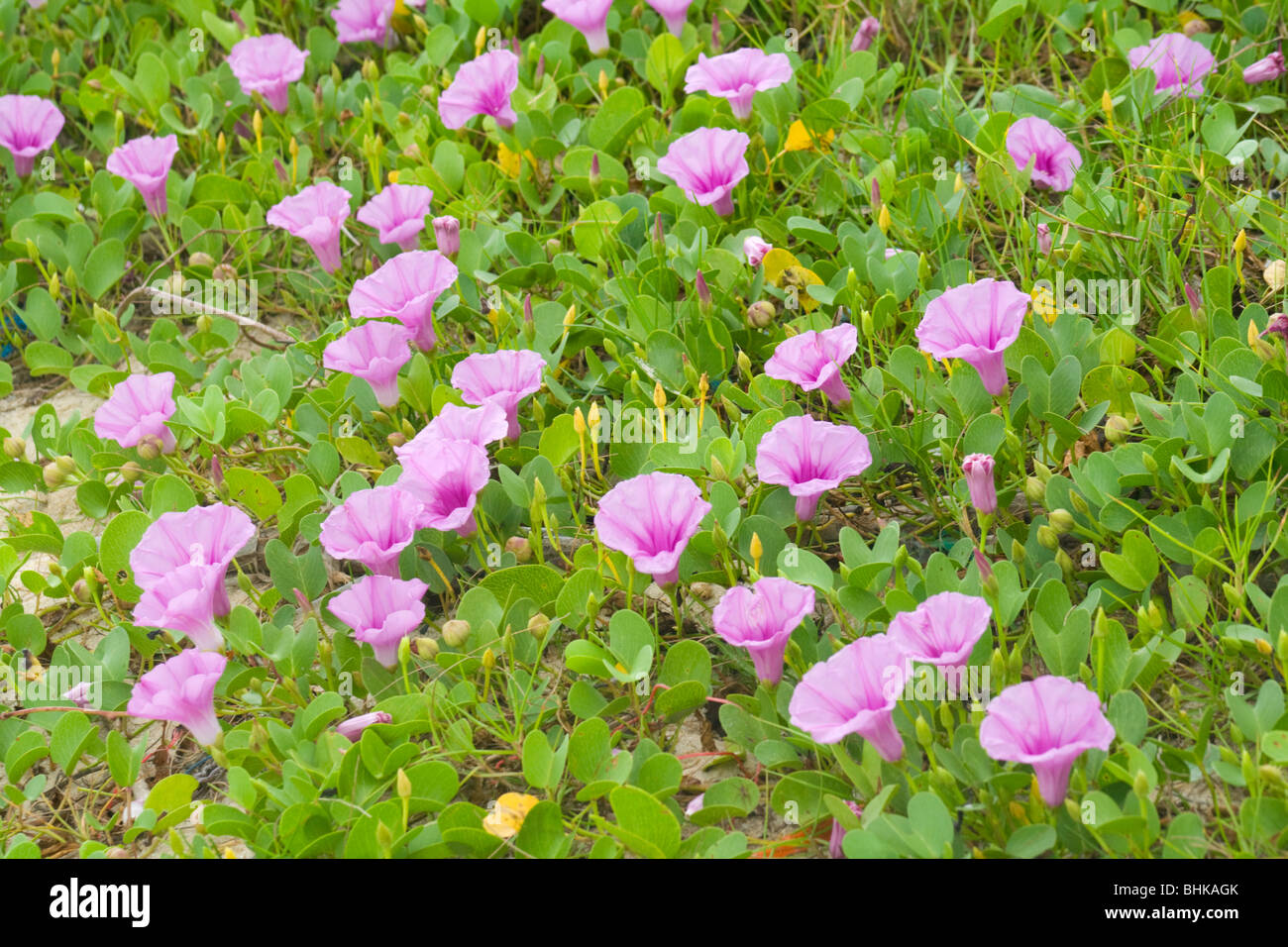 Ipomoea pes-caprae Beach morning glory a flower growing on asian beaches - Stock Image