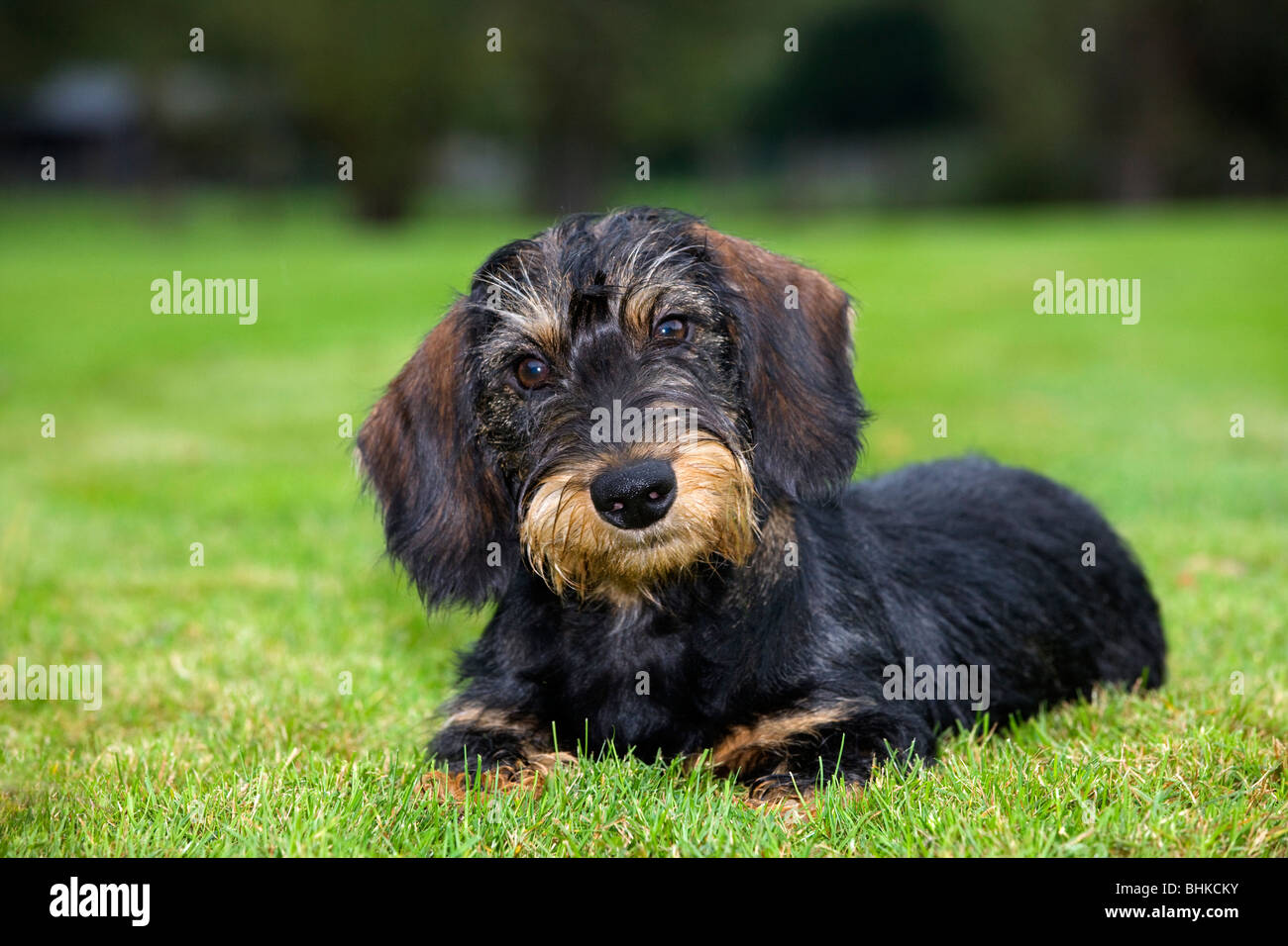 Wire-haired / Wirehaired Dachshund (Canis lupus familiaris) pup lying on lawn in garden - Stock Image