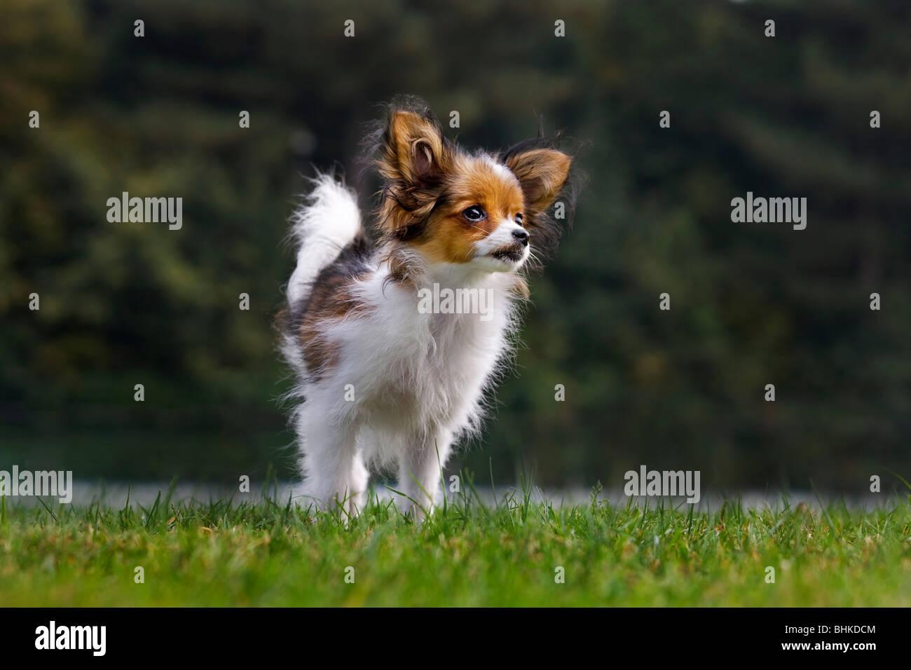 Papillon dog (Canis lupus familiaris) in garden - Stock Image