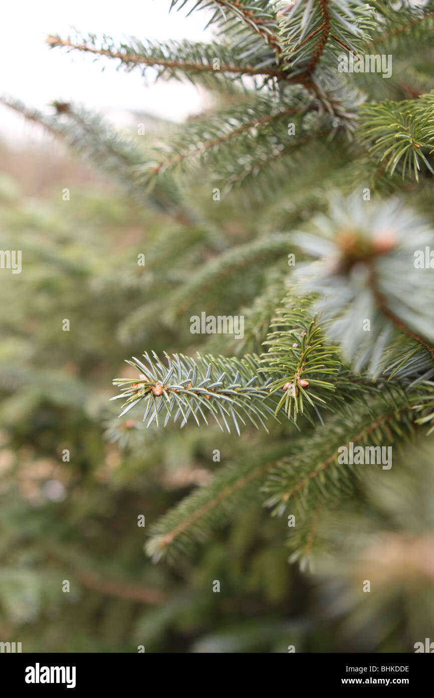 Pine tree fir tree pine needle with emerging cone - Stock Image