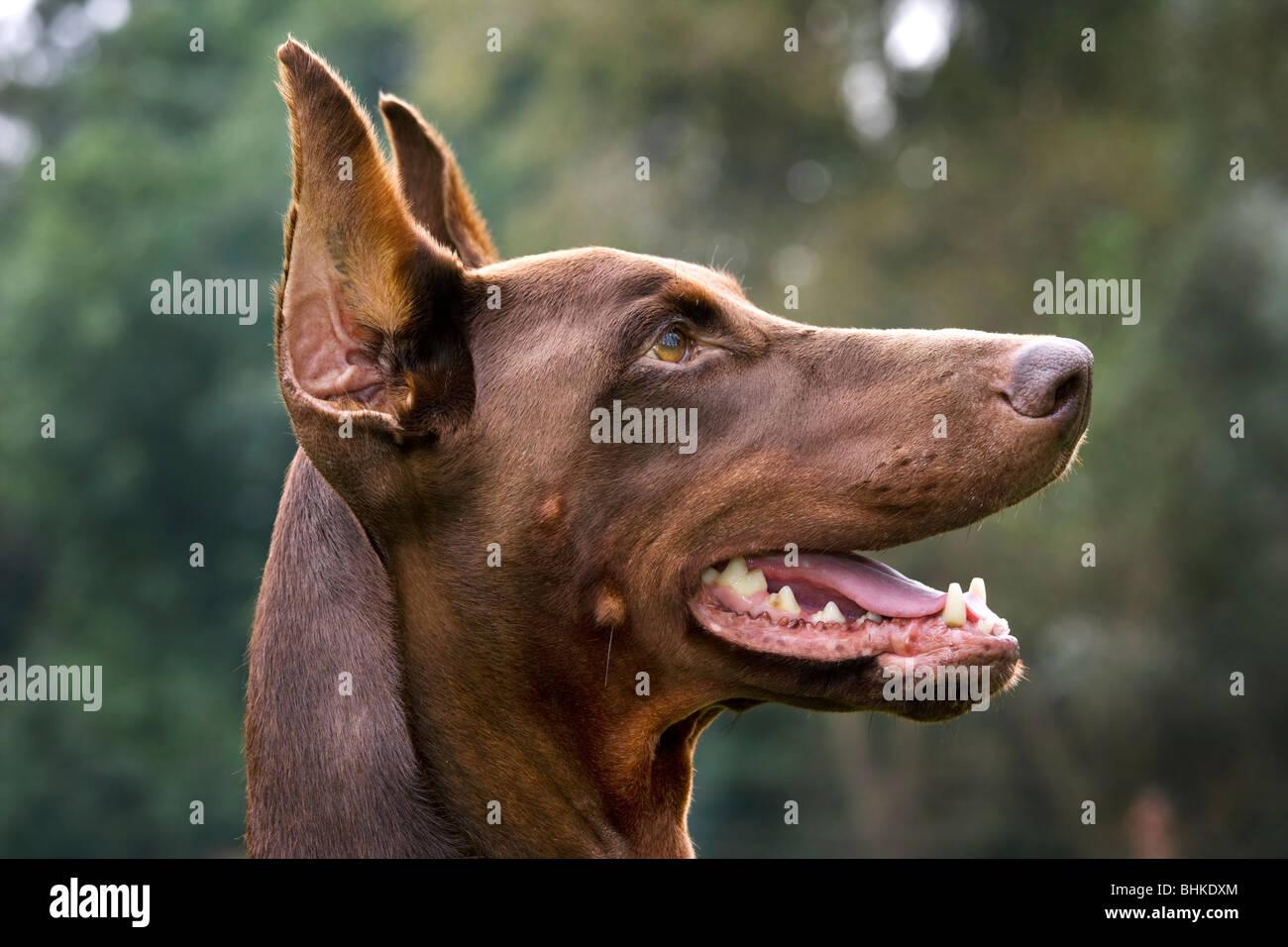 Doberman Pinscher / Pincher / Dobermann (Canis lupus familiaris) in garden - Stock Image