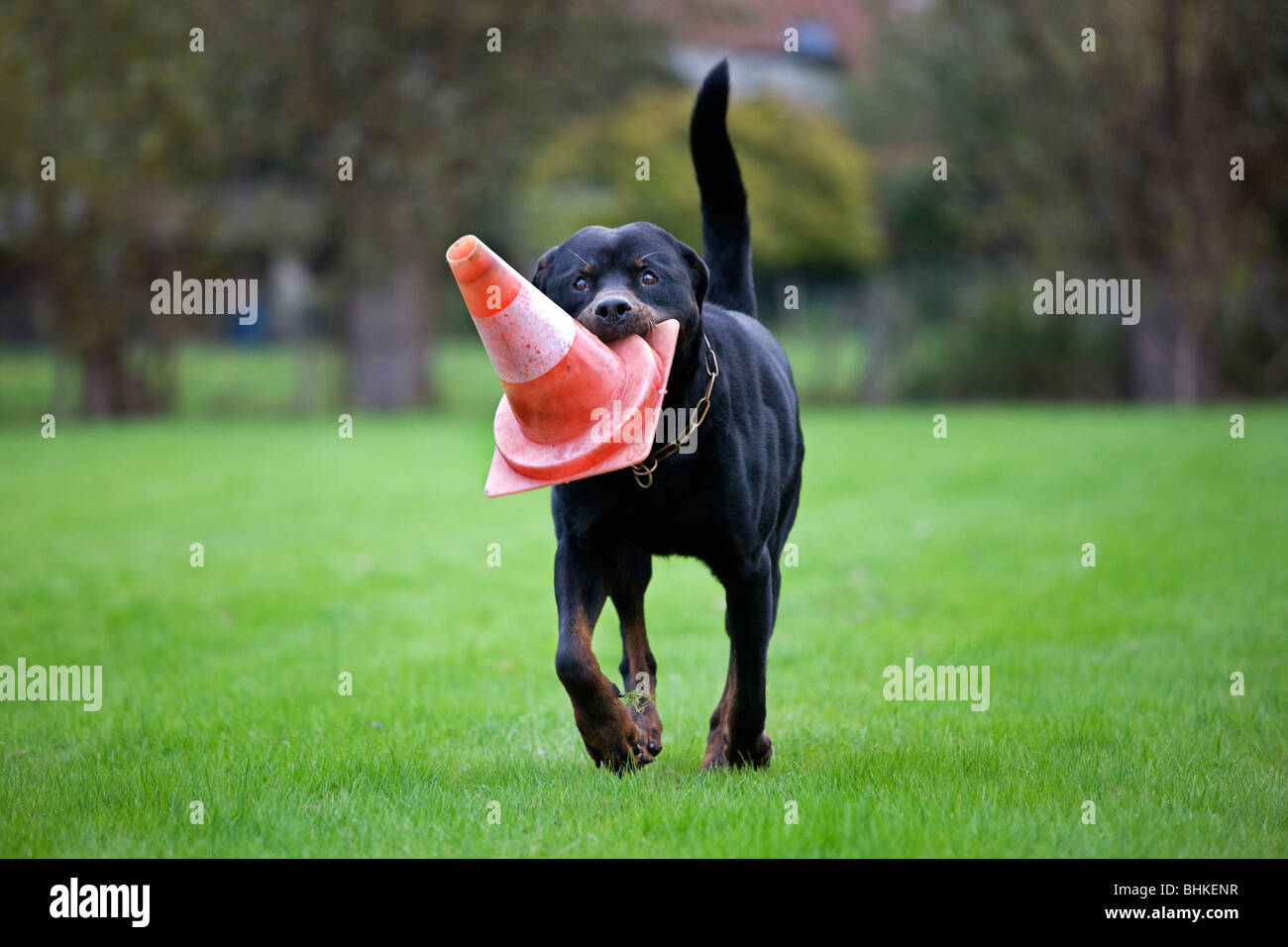 Rottweiler (Canis lupus familiaris) running with traffic cone in mouth - Stock Image