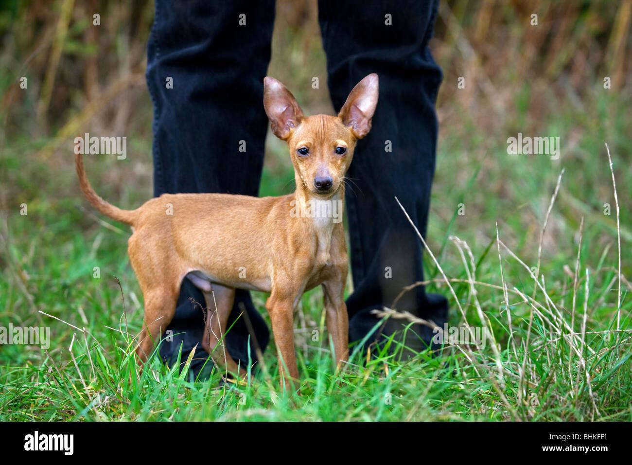 Miniature Pinscher / Zwergpinscher / Min Pin (Canis lupus familiaris) between man's legs - Stock Image
