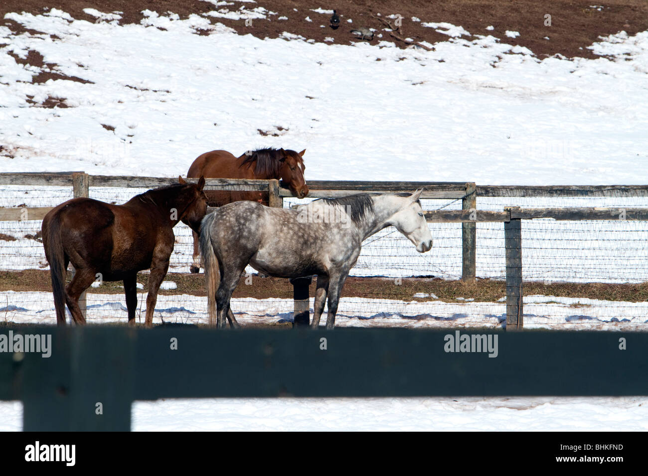 A dapple grey color colour horse with two brown horses in coral. Shot in winter with snow on the ground. - Stock Image