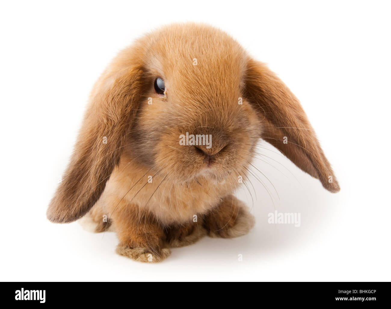Miniature Lop, rabbit. It is cut out on a white background. - Stock Image