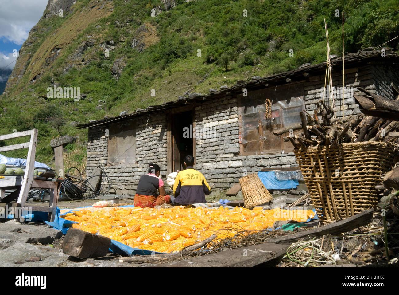 Corn cobs sun drying, Karte village, Annapurna Circuit, Nepal - Stock Image