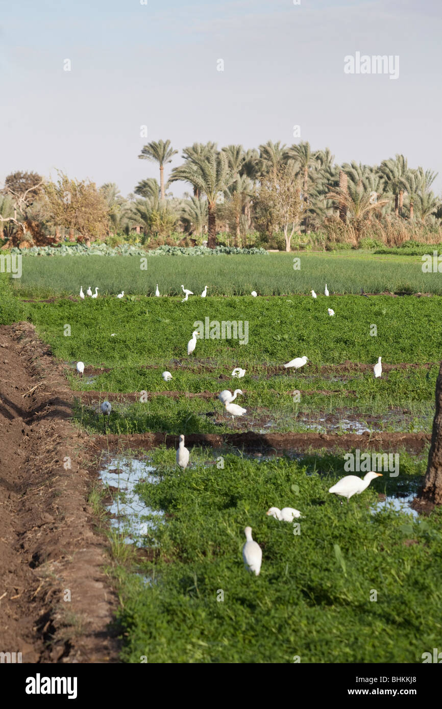 cattle egrets in field, Dashur, Egypt - Stock Image