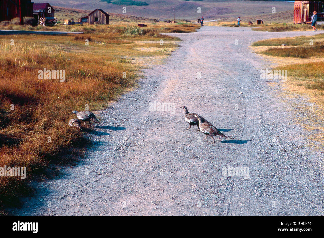 Flock of Grouse is Crossing the Street in Bodie, California - Stock Image