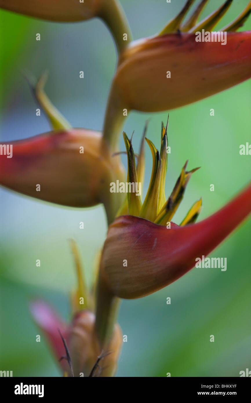 Heliconia Latispatha, Costa Rica - Stock Image