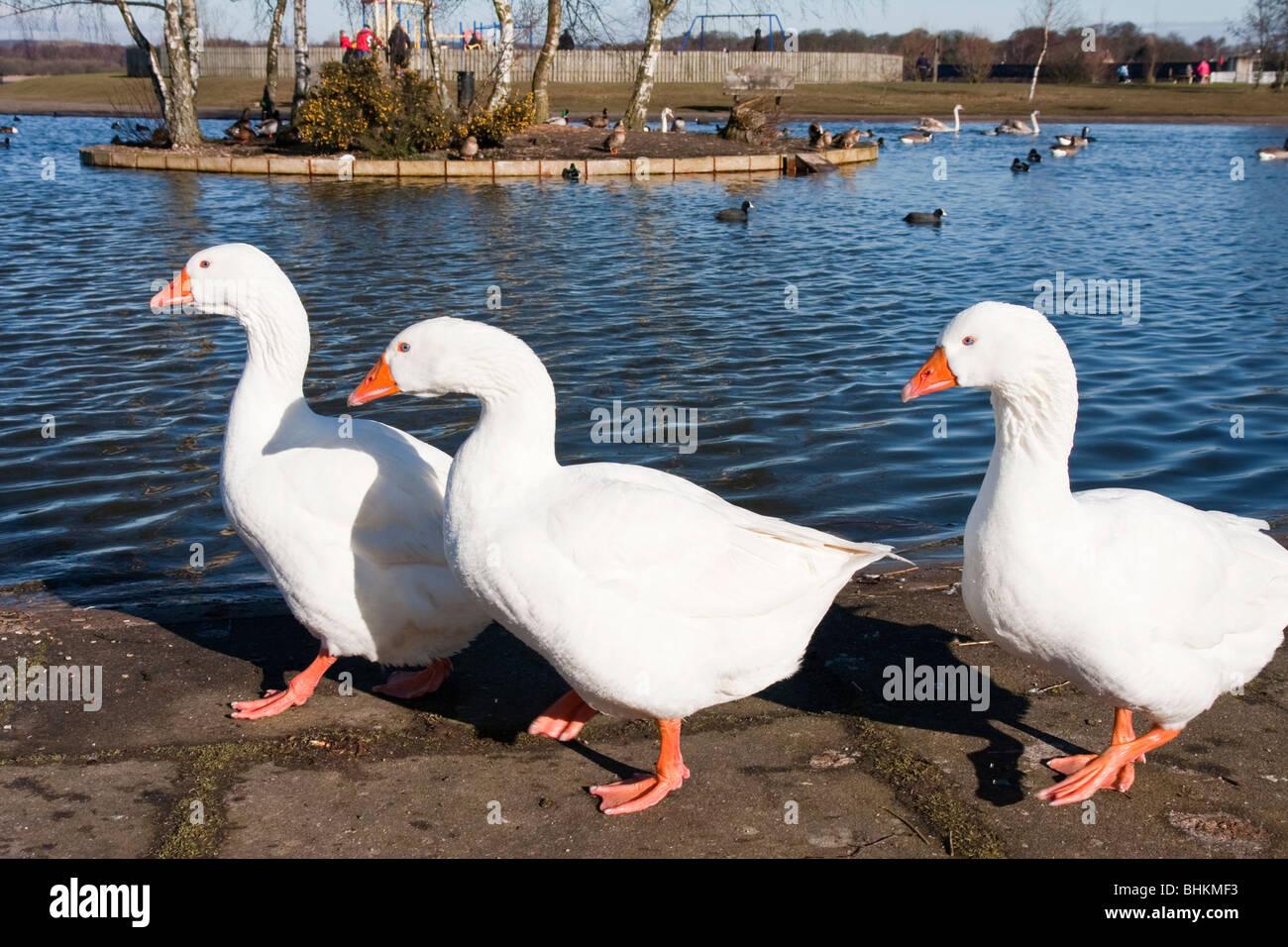 Three Aylesbury ducks - Stock Image