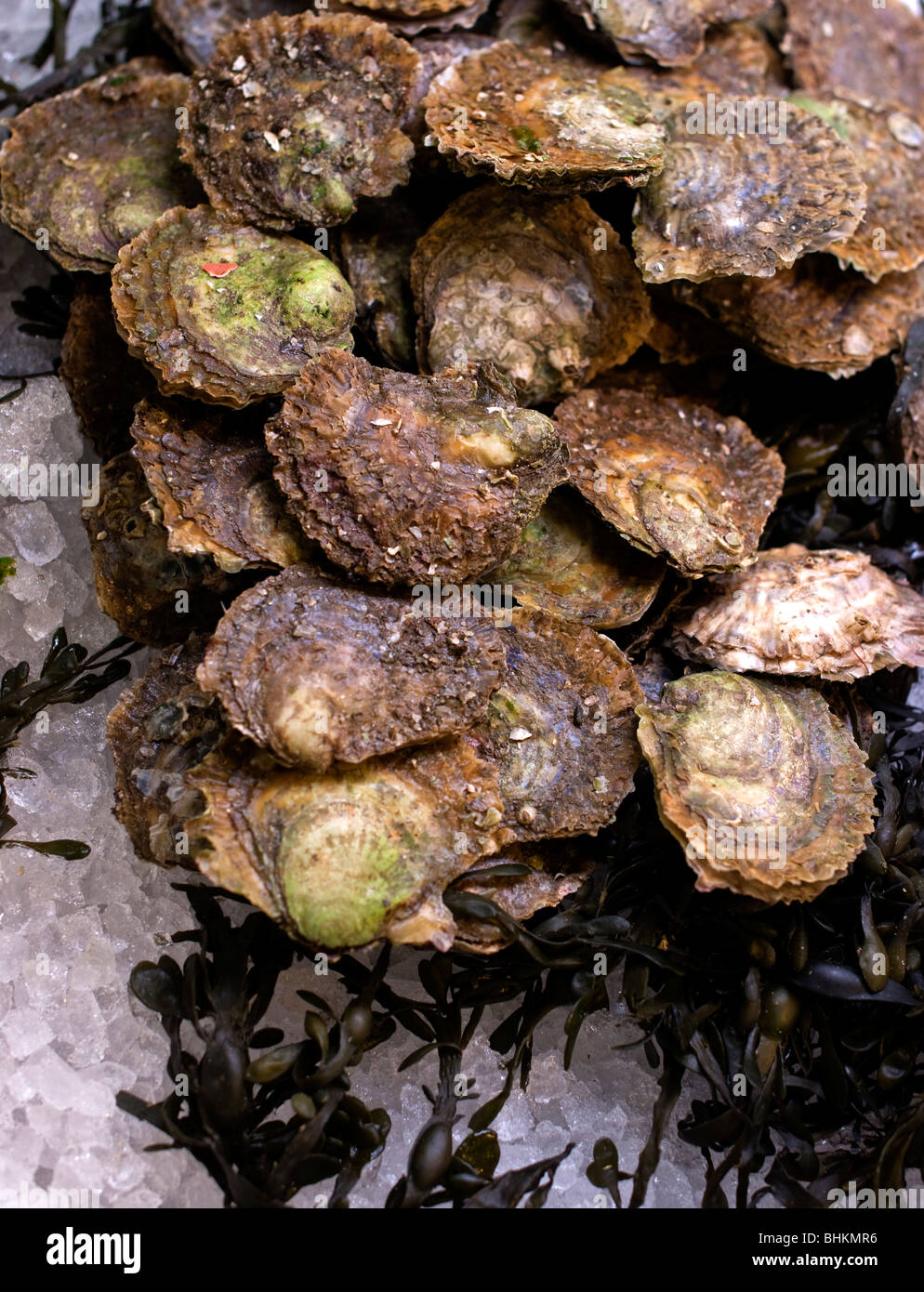 Oysters - Stock Image