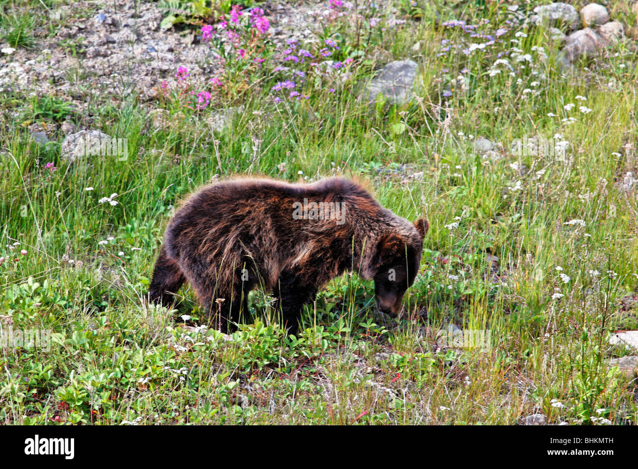 Grizzly Bear Eating Wildflowers on an Alpine Meadow, Alberta, Canada - Stock Image